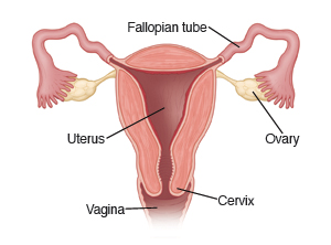 Image showing a cross-section of the uterus, with Fallopian tubes, ovaries, cervix, and vagina.